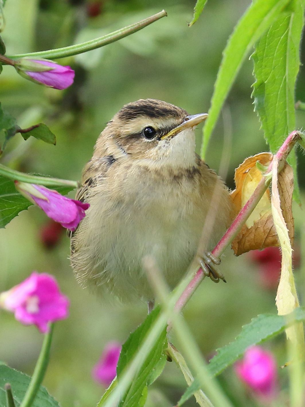 Young Sedge warbler in the Reedbed on Sun 30 July photographed by Mike Jerome.
