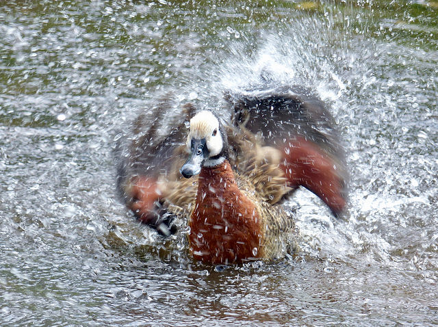 "Joshua Brierley aged 14 from Lostock, Bolton, has won the WWT Martin Mere Wetland Centre Junior Photography Competition with an amazing picture of a whistling duck bathing in water.         The competition was judged by photographer Ben Cherry: ""It takes patience and persistence to get an image..."