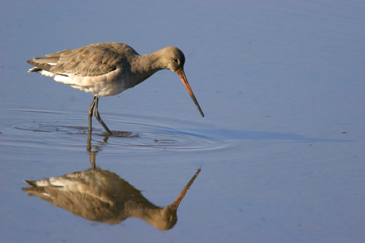 First hand-reared godwit returns to UK