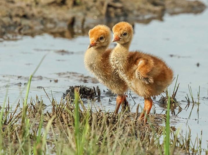 Cause for celebration over crane chicks