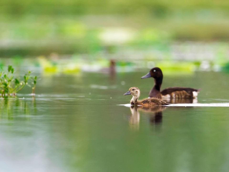 Baby Baer's! First sighting of duck family confirms rare bird is breeding