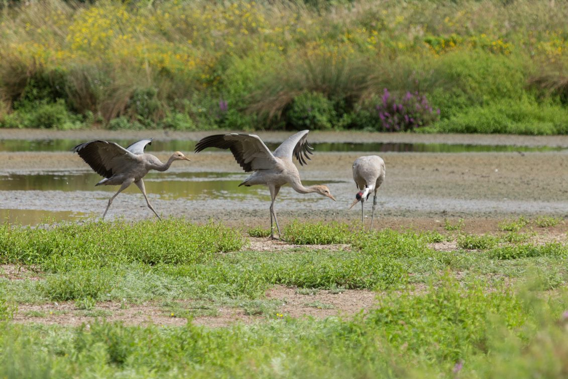adult common crane with two chicks