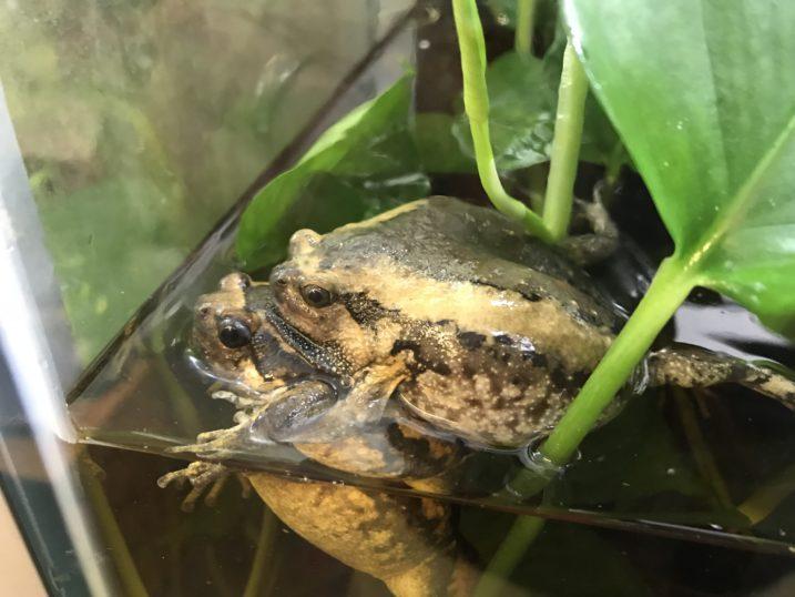 asian bullfrogs mating