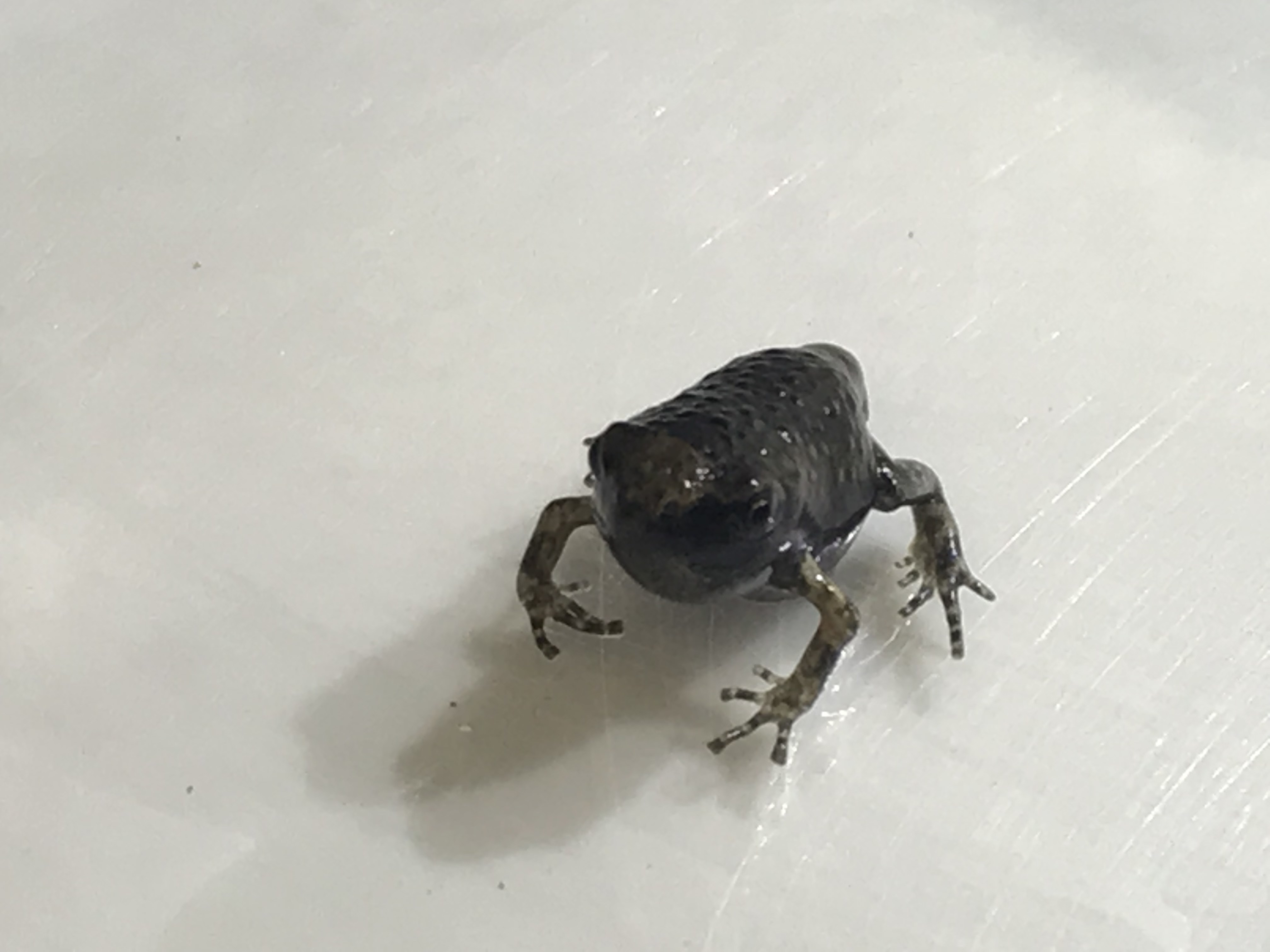 Asian bullfrog froglet