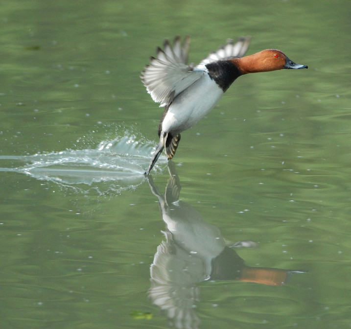 Latest WWT science journal shines light on lives of wetland birds