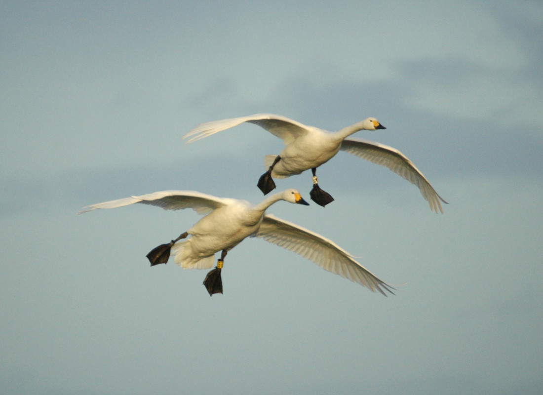 "Winter finally begins at Slimbridge with ""swanfall"""
