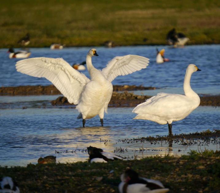 Annual 'swanfall' begins as Slimbridge welcomes over 50 migratory Bewick's swans