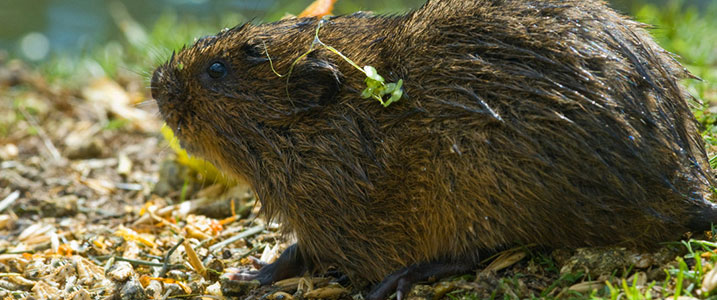 Water vole in a wetland