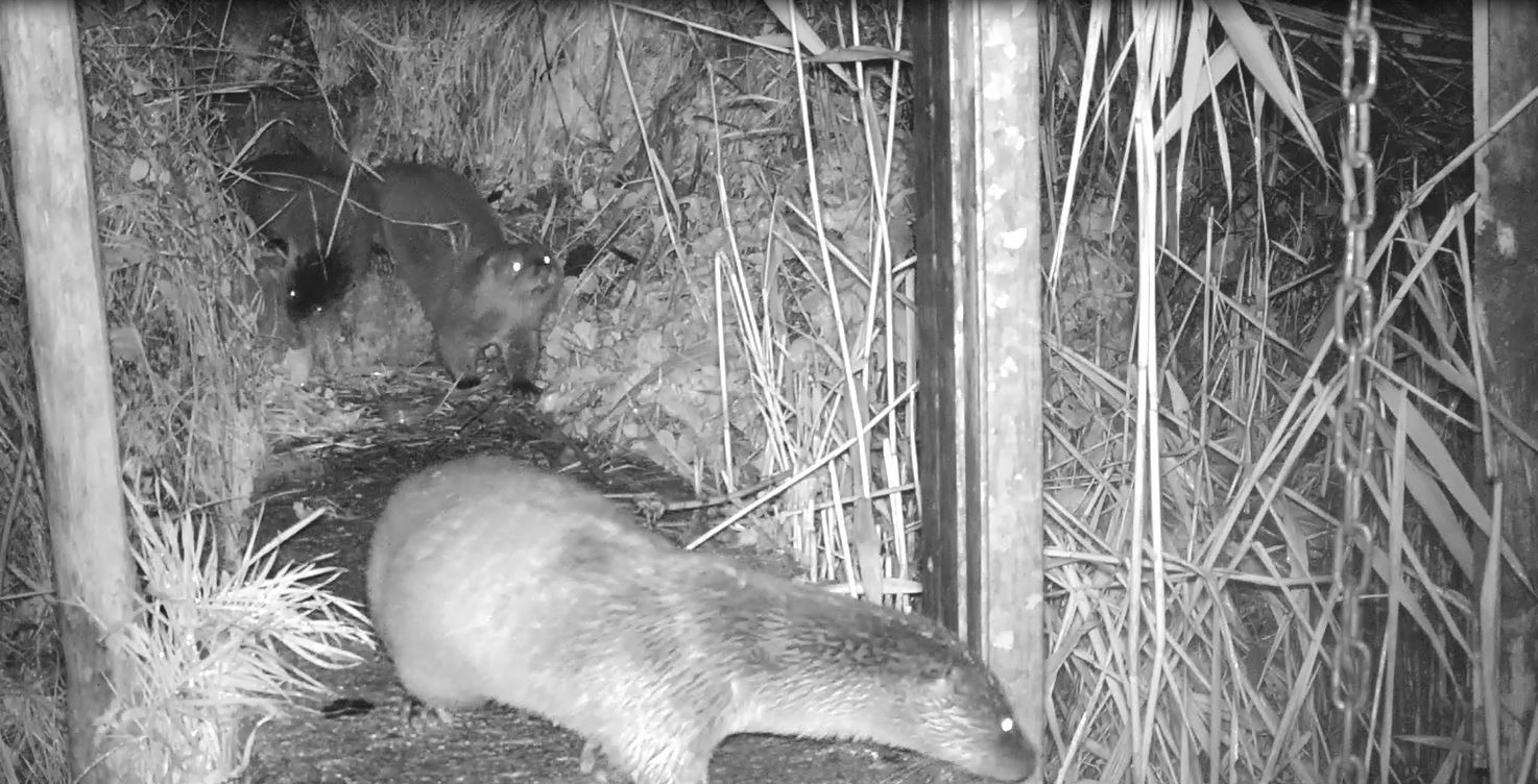 Unexpected otter cubs at Slimbridge Wetland Centre this winter