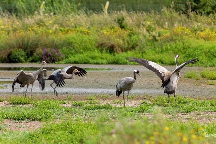 Survey reveals record number of UK's tallest bird