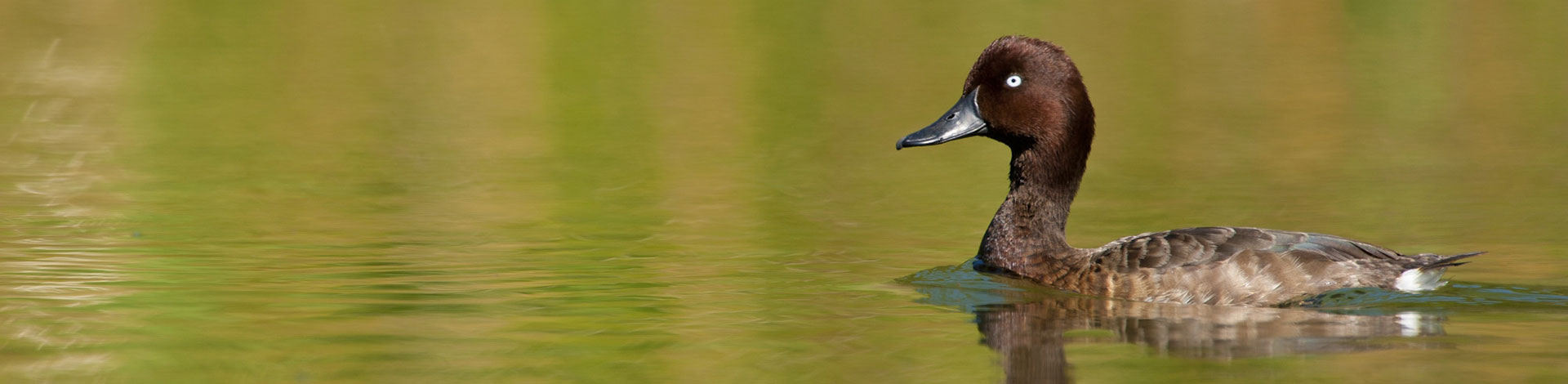 Help us release the Madagascar pochard back into the wild