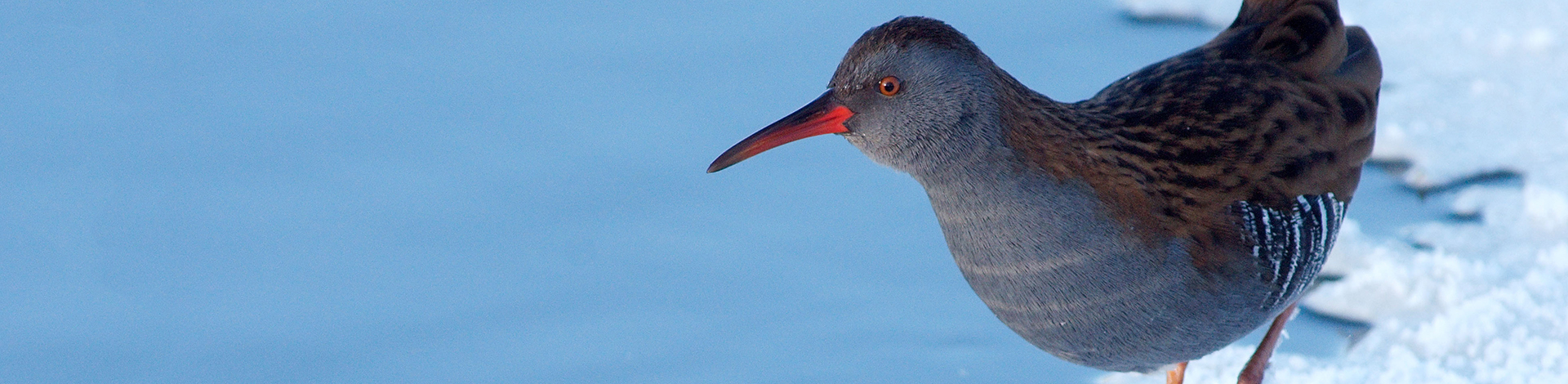 We've one chance to  save the iconic godwit...
