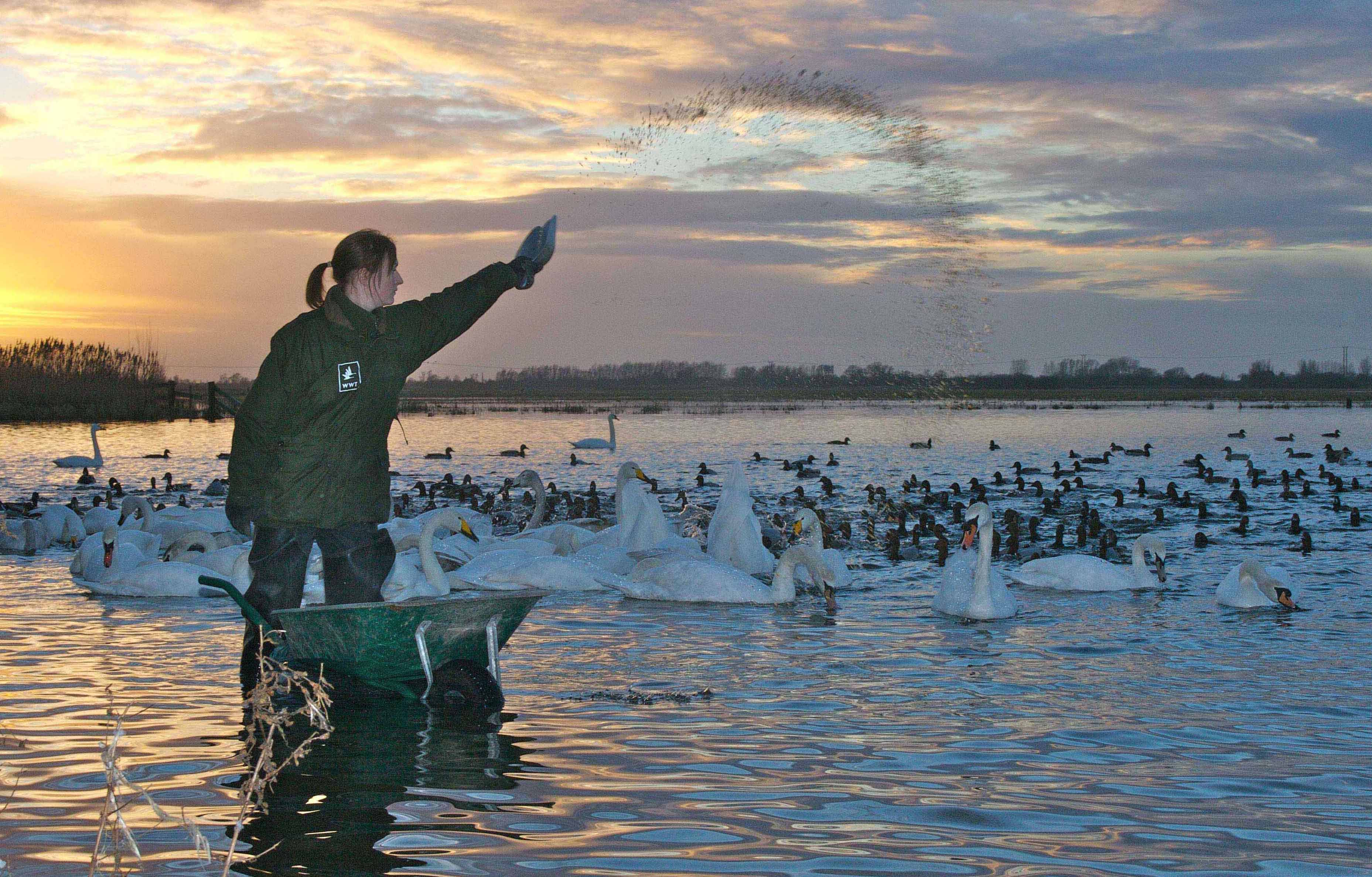 View: Swan feeds