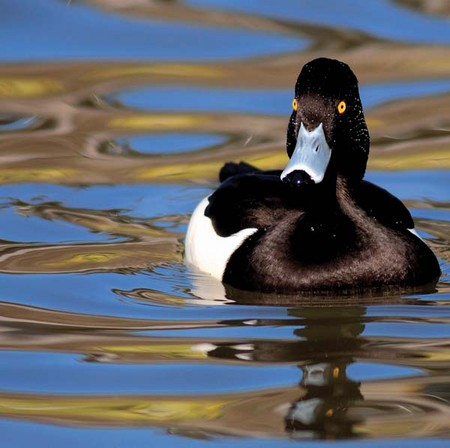 Tufted Duck (WW116)