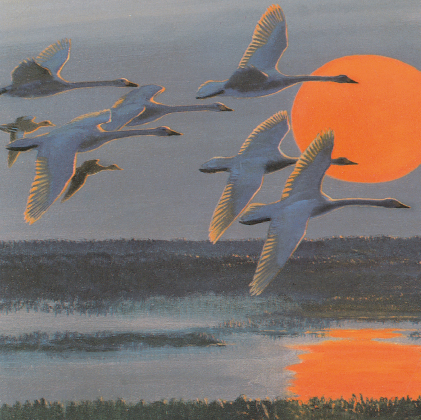 Bewick's swans against the setting November sun (4443)