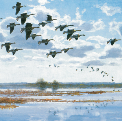Whitefronts over a flooded marsh (4451)