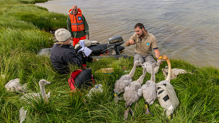 Ringing whooper swans in Iceland