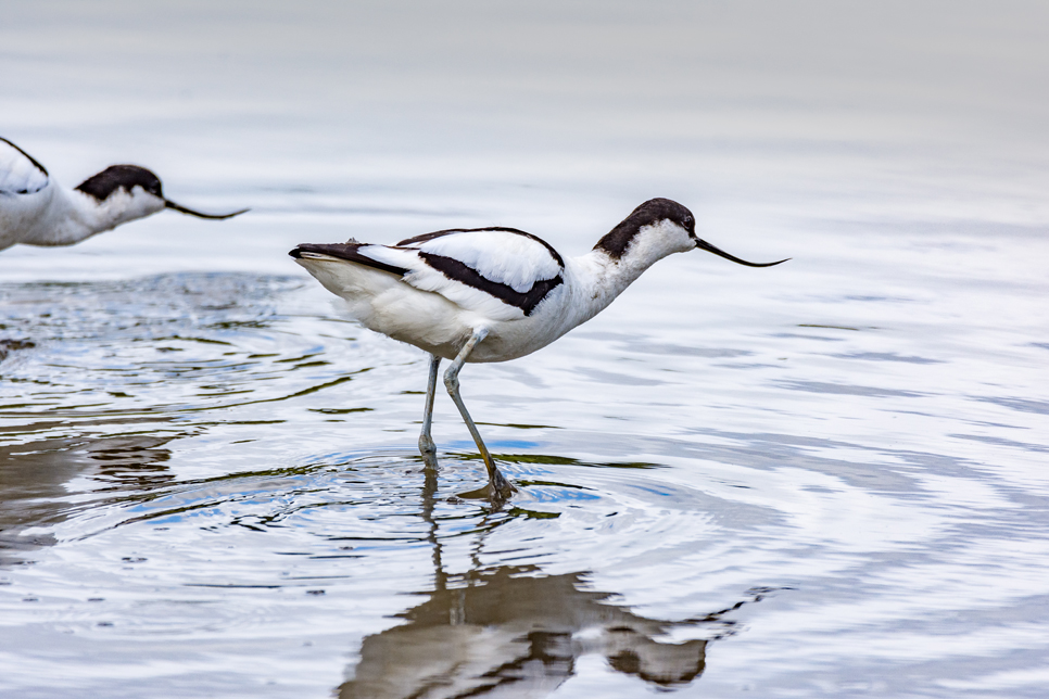 Record avocet numbers