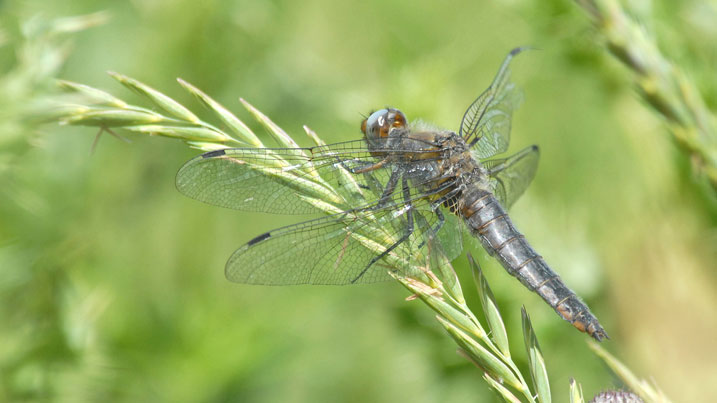 Rare dragonflies discovered at WWT reserve in Somerset