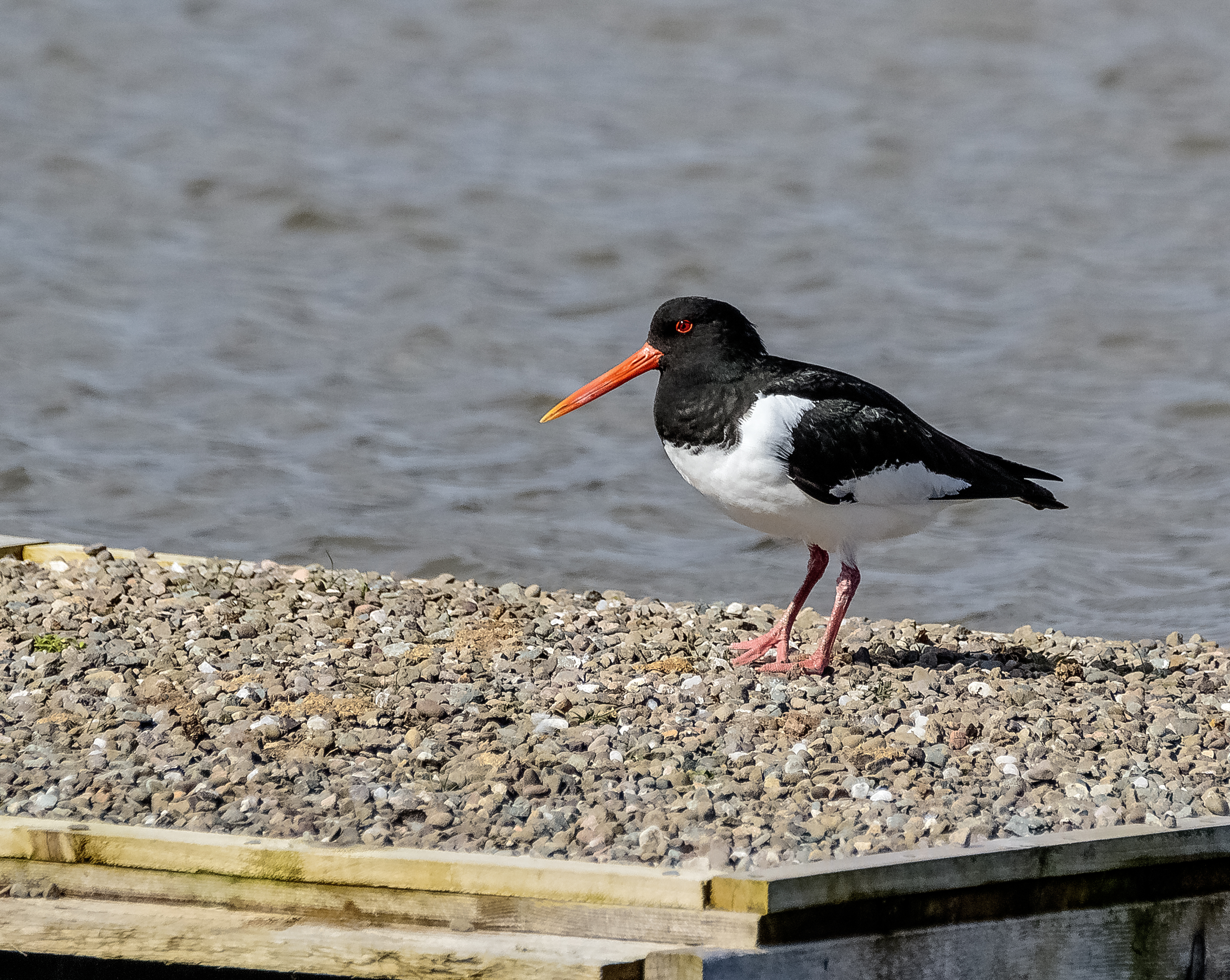 Oystercatchers Prospecting