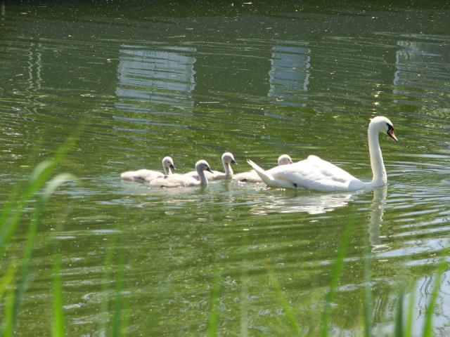 View: Slimbridge Cygnets