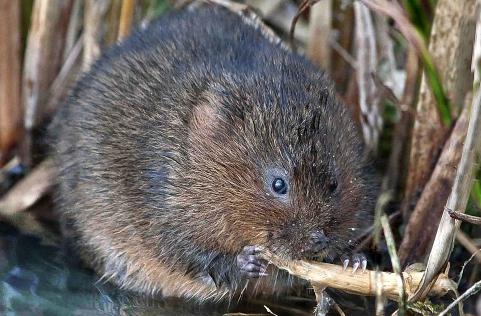 Water voles vs. rats: how to tell the difference