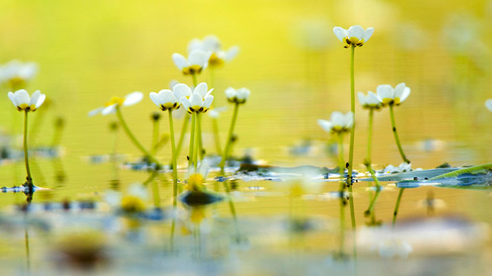 Common water-crowfoot (Ranunculus aquatalis)
