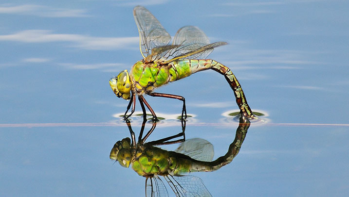 Dragonfly ovipositing