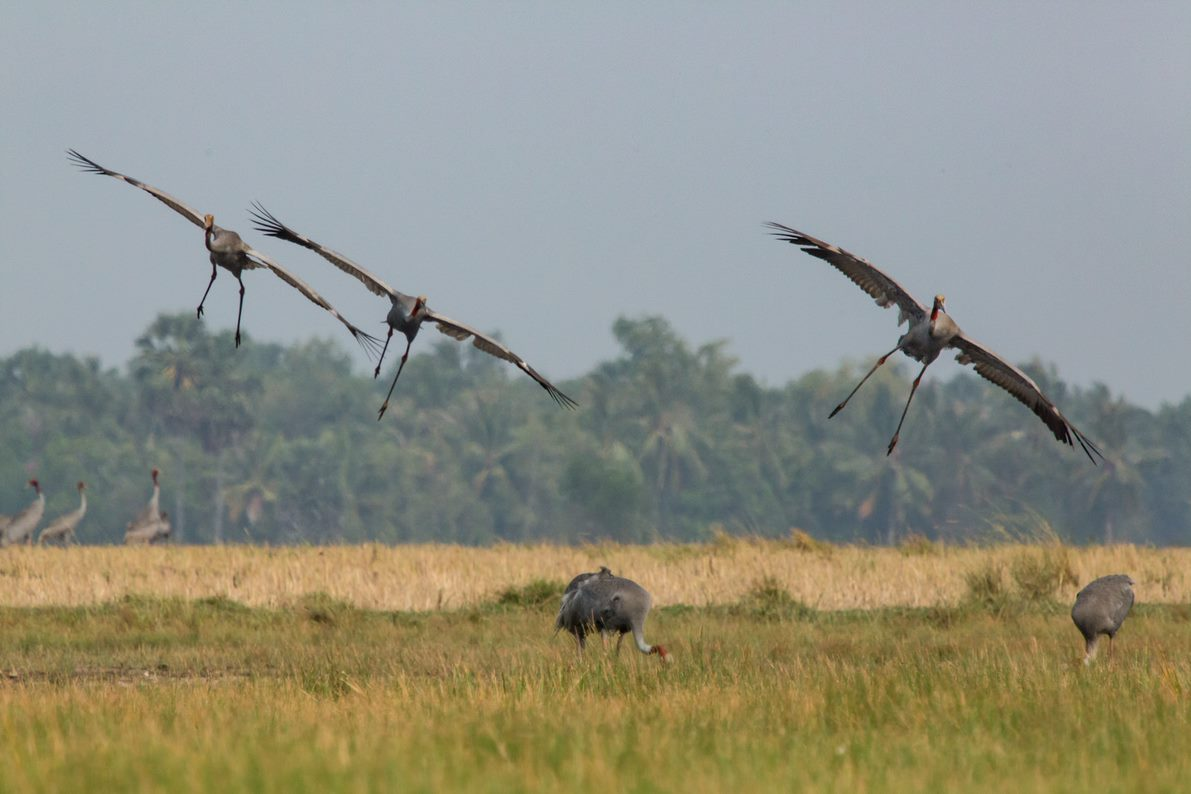 Sarus cranes flying in Cambodia