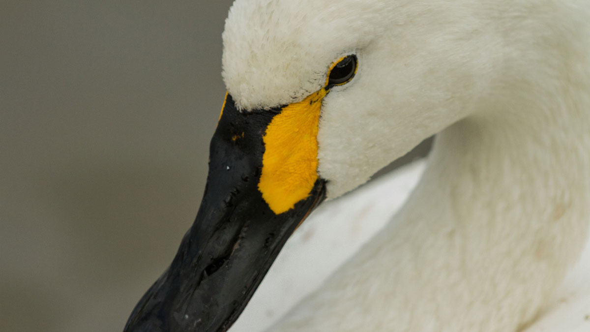 Mistaken identity - Bewick's swans being hunted accidentally, research finds