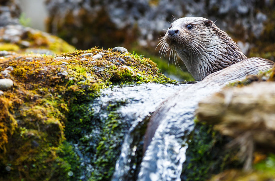Spotlight on: the European otter (and how to see them in the wild)