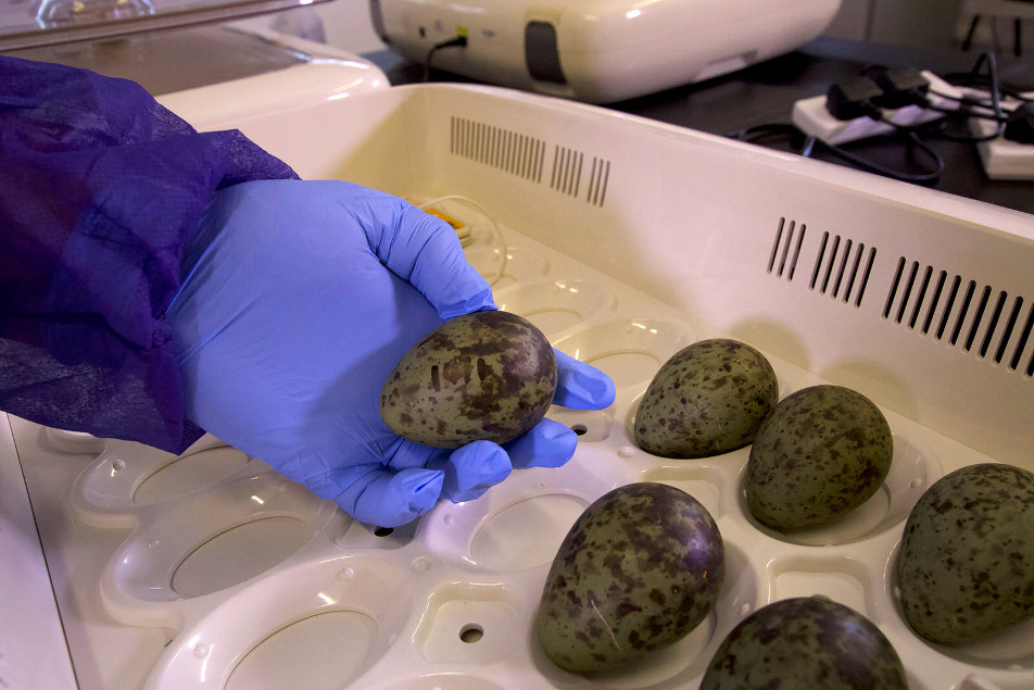 Eggs rescued from RAF airbases as 'pilot project' to save endangered curlew takes flight