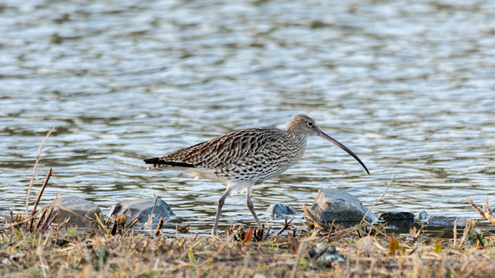 Curlew numbers have declined by over 65% in the UK since 1970