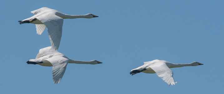 Three whooper swans in flight against a blue sky