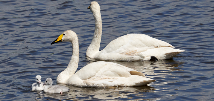 Whooper swan pair and two cygnets on the water at Welney.