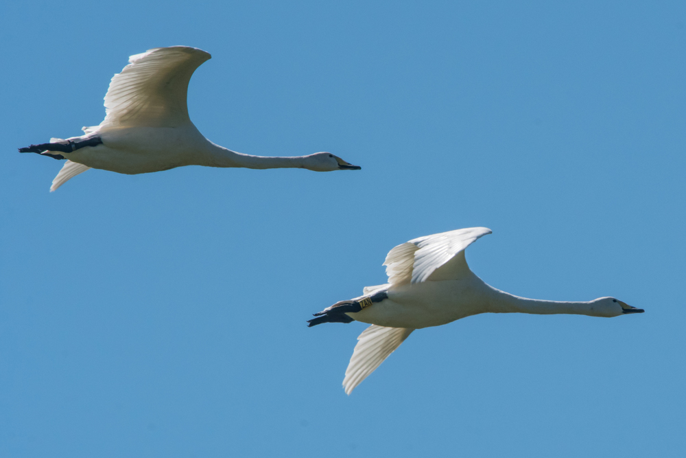 Iceland calls to Welney whooper swans