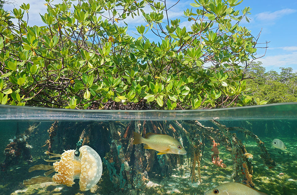 Mangroves: The incredible salt-water wetland forests
