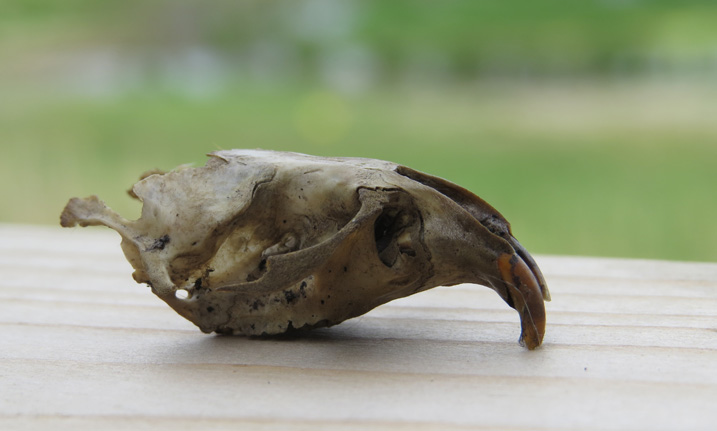 vole skull from an owl pellet dissection session