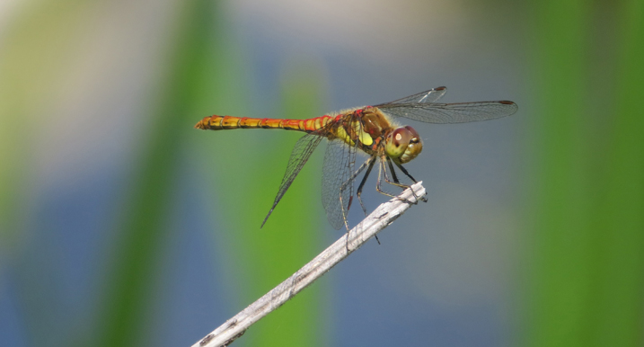 Common darter dragonfly perched on a stick