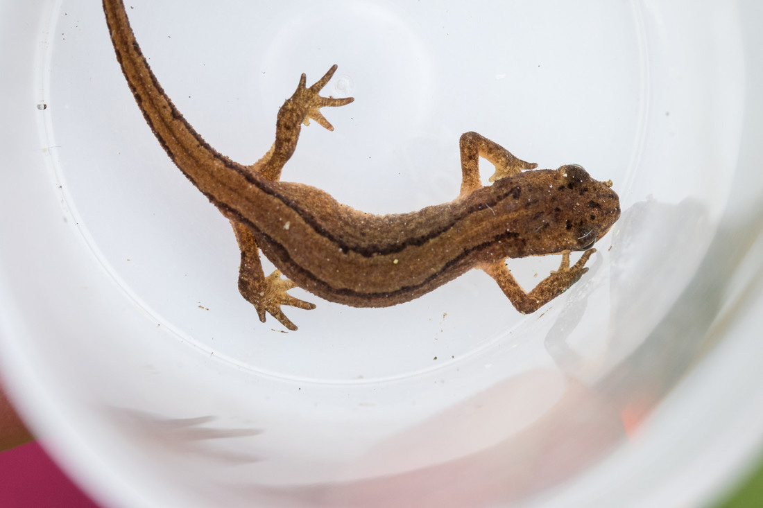 Smooth newt being observed