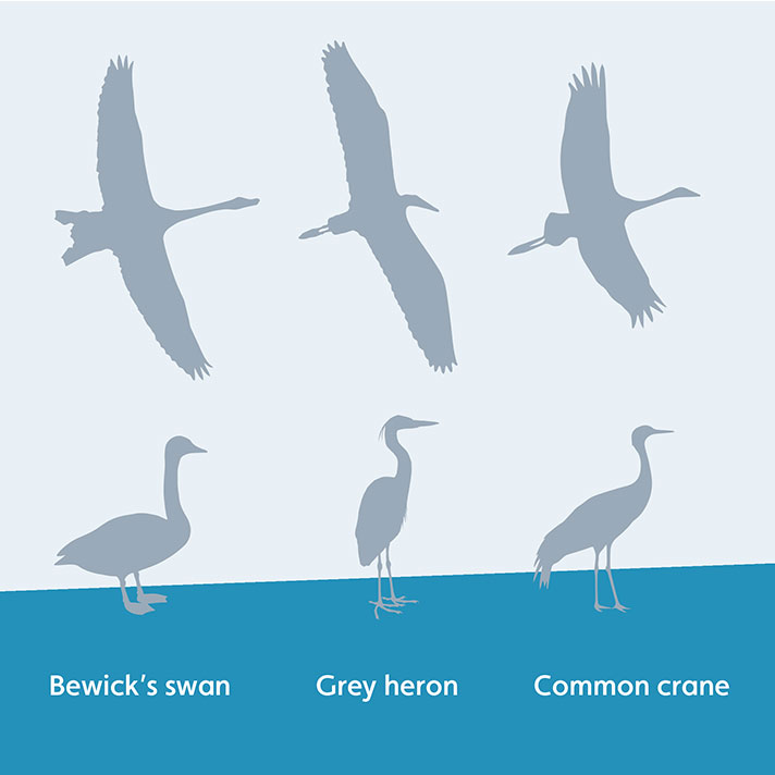 Telling the difference between a crane, heron and swan
