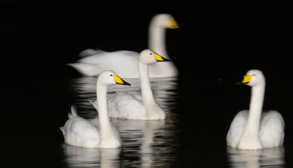 View: Swan supper