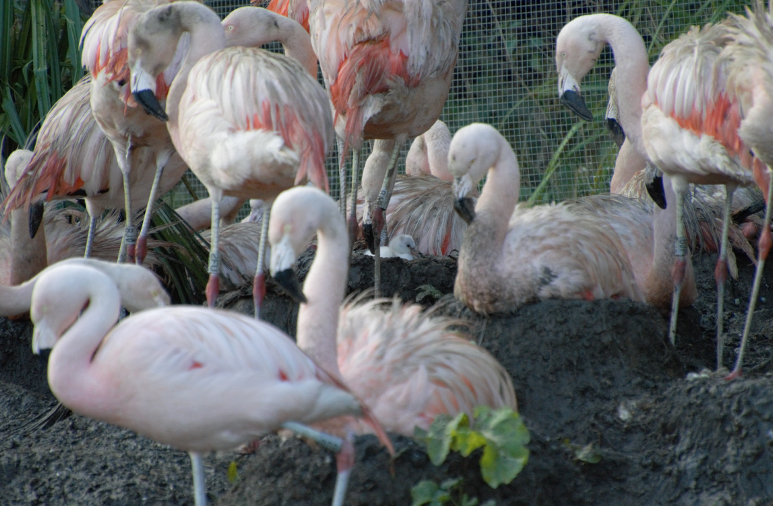 First flamingo chick in 4 years hatches