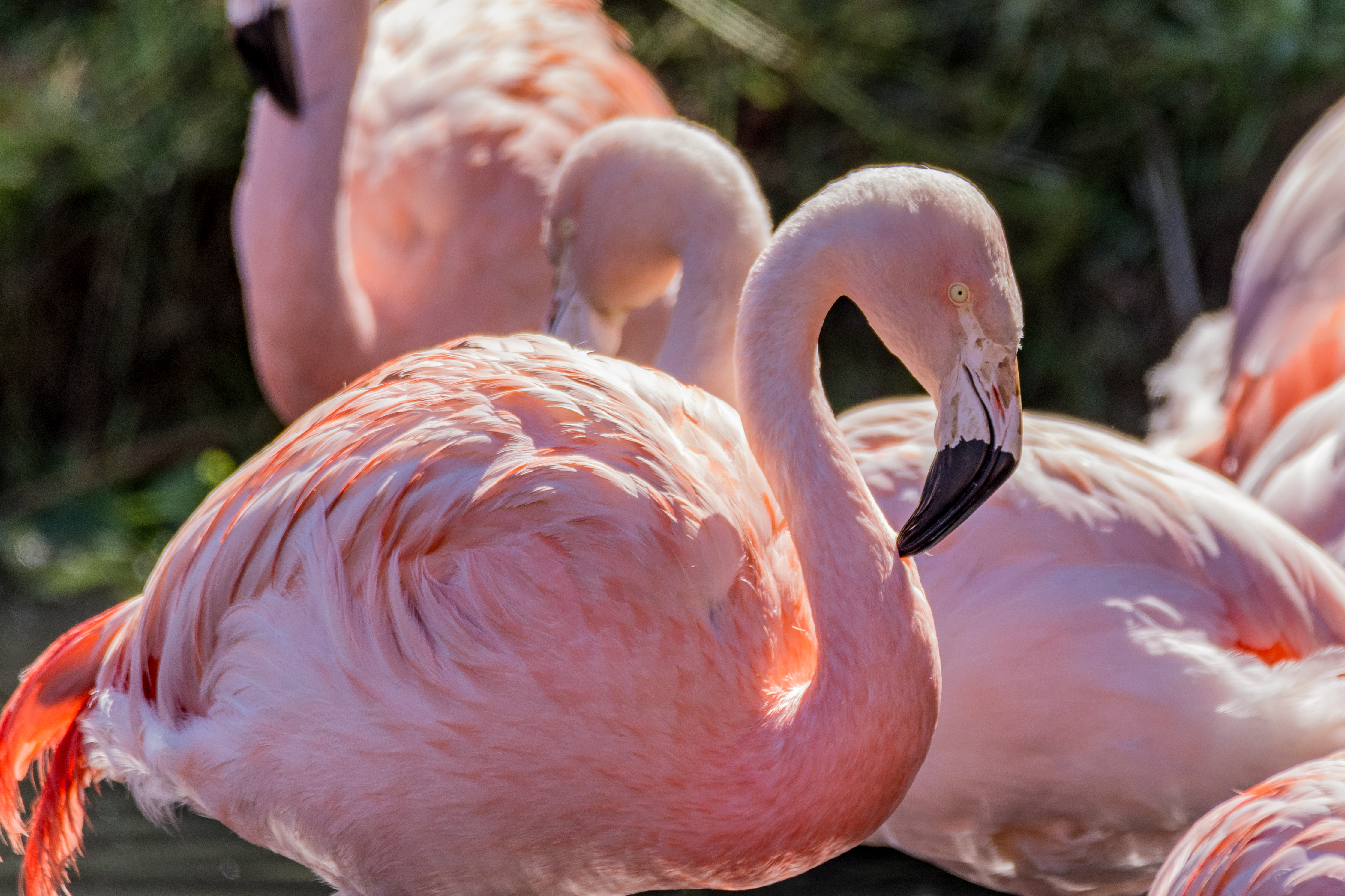 Baby flamingos- why the long wait?!