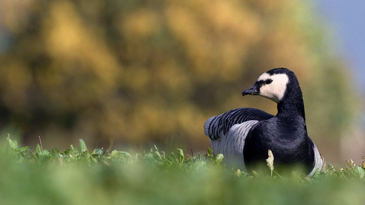 Barnacle goose in grass field