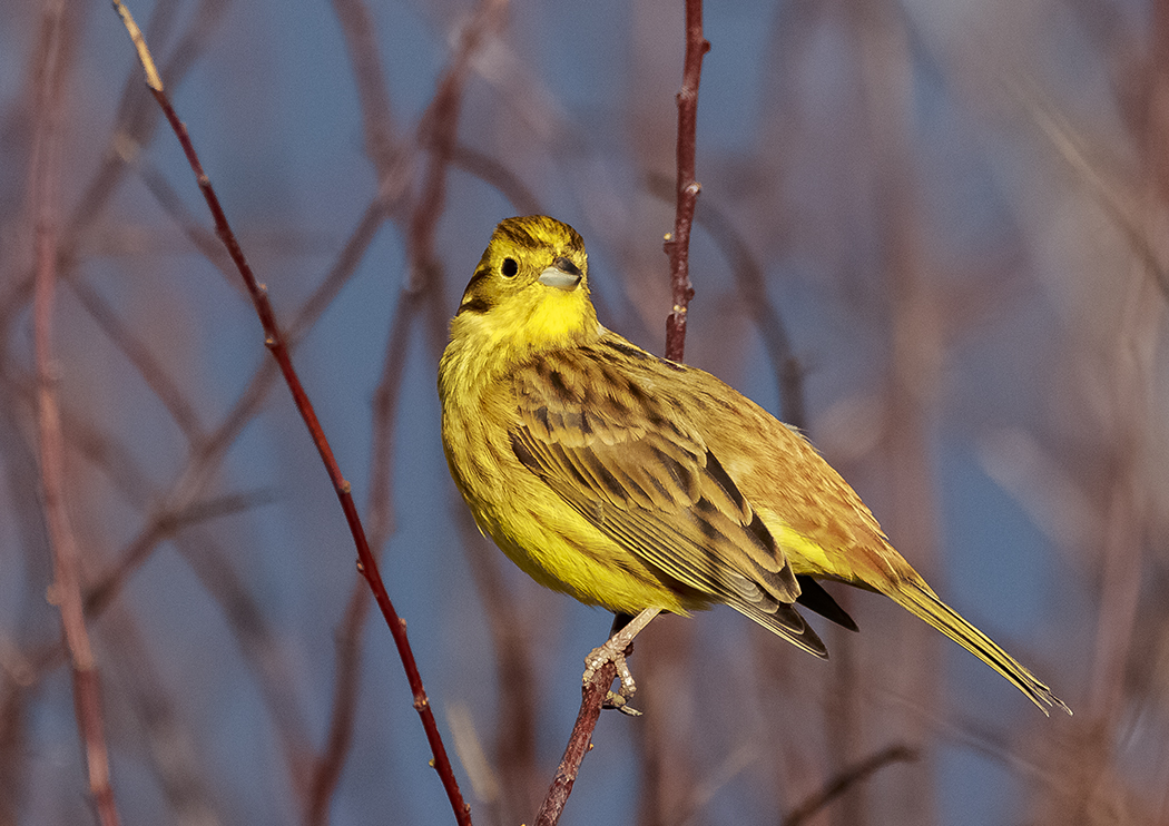Yellowhammers, Treecreepers and Linnets