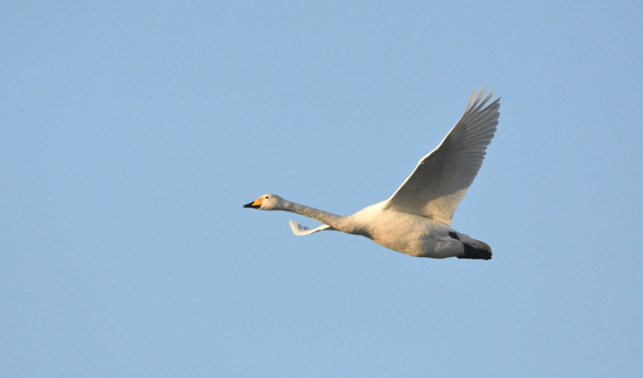 Whooper swans arrive from Iceland