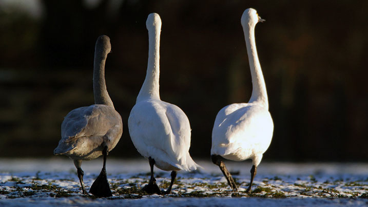 Bewick's swan family and juvenile