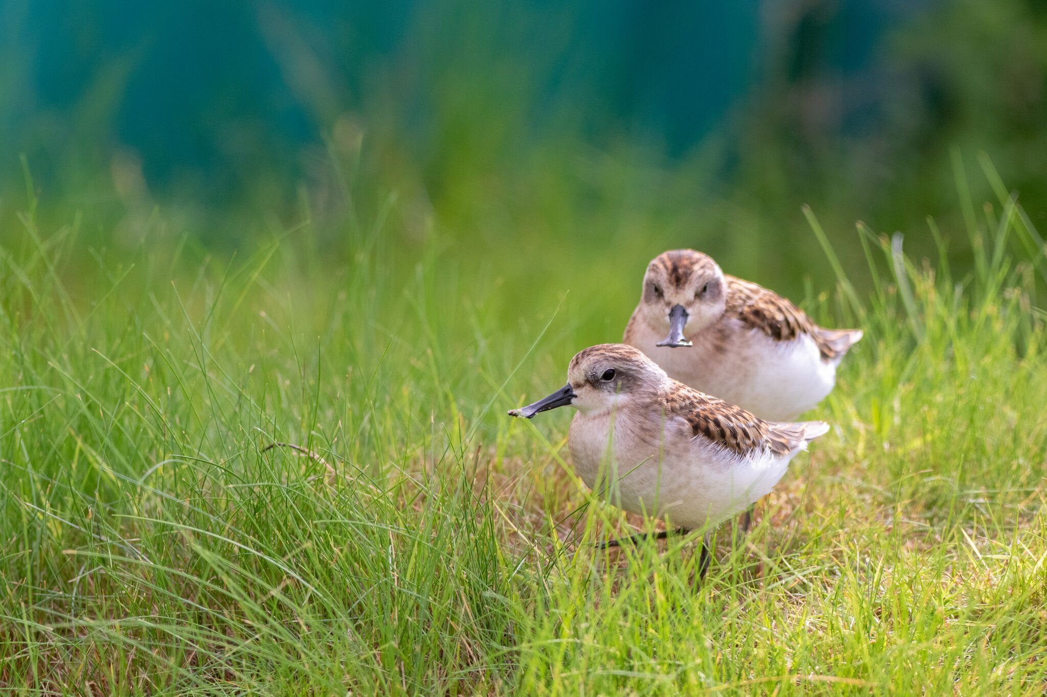 Fresh hope for spoon-billed sandpipers after chicks hatch