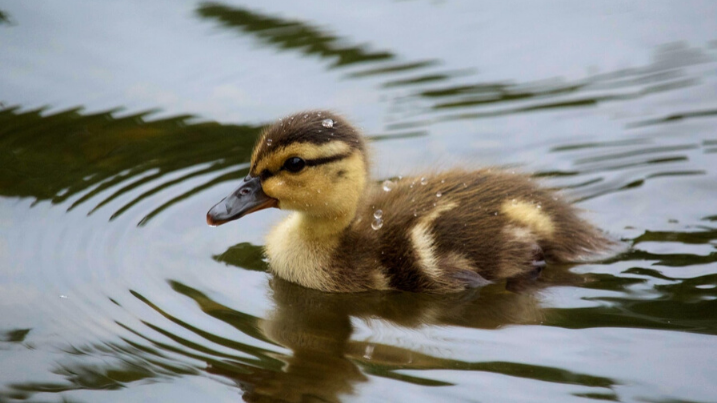Things to do with kids in wetlands duckling
